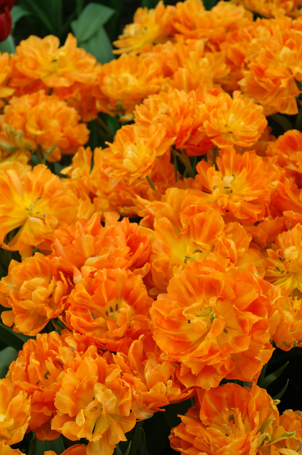 Tulip Bulbs -Orca - 5 bulbs -Showy full double clear orange flowers, often more flowers per stem.