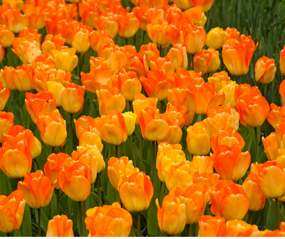 Tulip Bulbs - Daydream- 5 bulbs - The yellow of the petals evolves into soft orange | Darwin | Fragrant