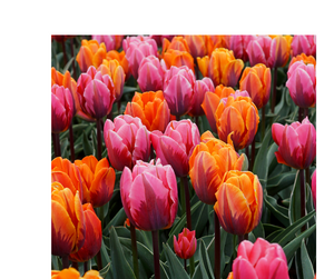 Tulip Bulbs -Blends -Sunset Reflections-10 bulbs - Flaming tones of orange and pink this blend is guaranteed to impress.
