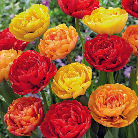 Tulip Bulbs -Blends- Volcano-10 bulbs - Double Peonies - Red, Orange & Yellow Tulips-Large peony looking flowers.