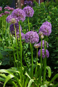 "Allium Bulb- Gladiator- 5 bulbs | Deer Resistant | 6-8"" diameter flower 