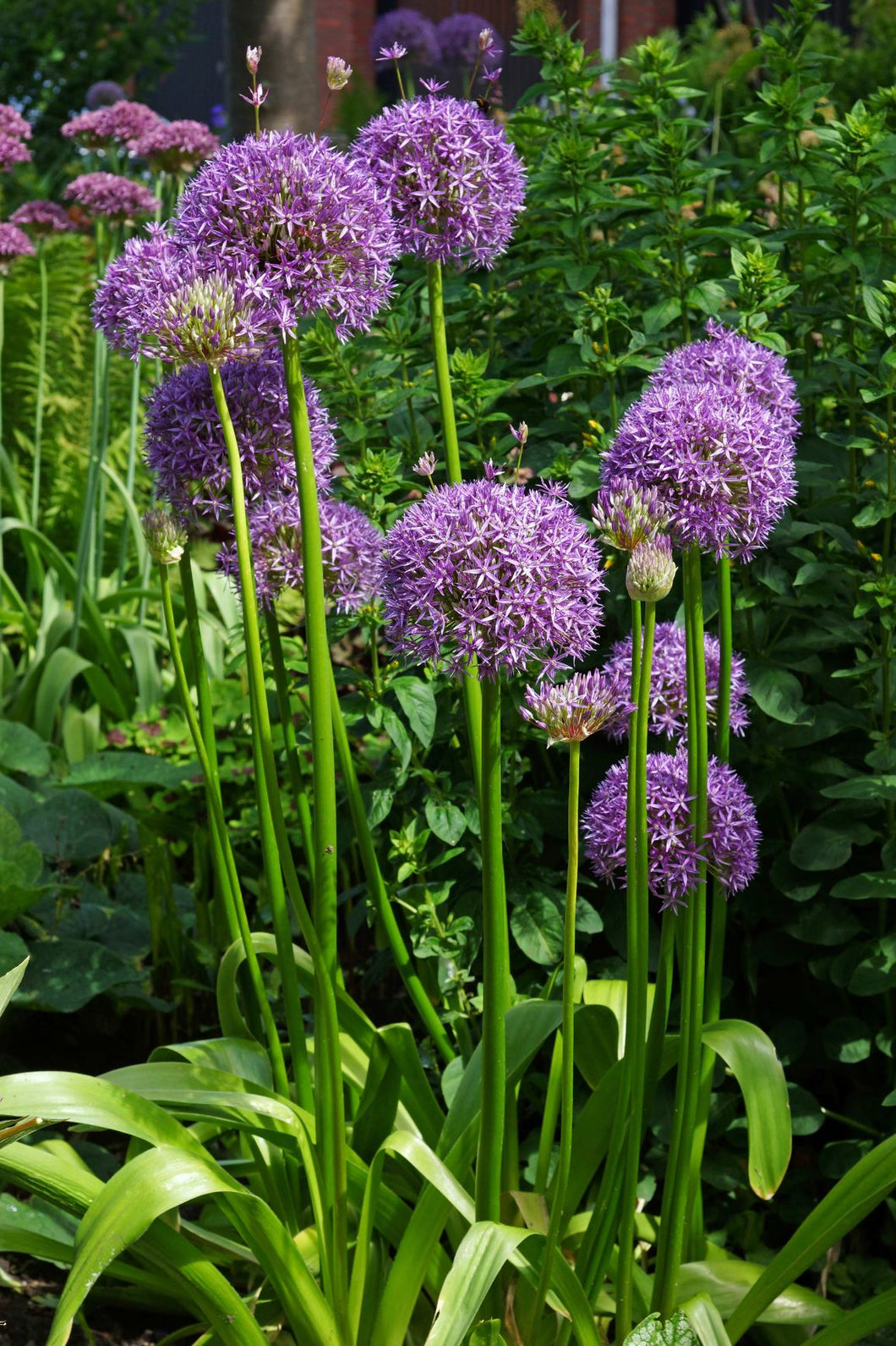 Allium Bulb- Gladiator- 5 bulbs | Deer Resistant | 6-8