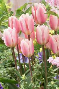 Tulip Bulbs -Apricot Delight -5 bulbs-Beautiful soft apricot/pink tulip with a white heart