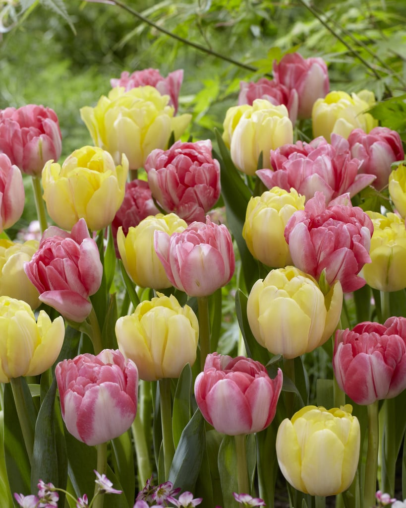 Tulip Bulbs -Blends -Ball Room Dance-10 bulbs - Blushing pink and yellow tulips