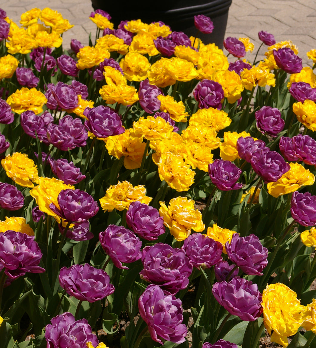 Tulip Bulbs -Blends- Bright Peony-10 bulbs - Double Peonies - Yellow & Purple Tulips-Large peony looking flowers.