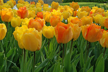 Load image into Gallery viewer, Tulip Bulbs - Daydream- 5 bulbs - The yellow of the petals evolves into soft orange | Darwin | Fragrant