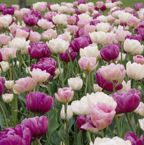 Tulip Bulbs -Blends- Double Bubble - 10 bulbs - These are gorgeous when fully open with colors that remind us of bubble gum, poodle skirts