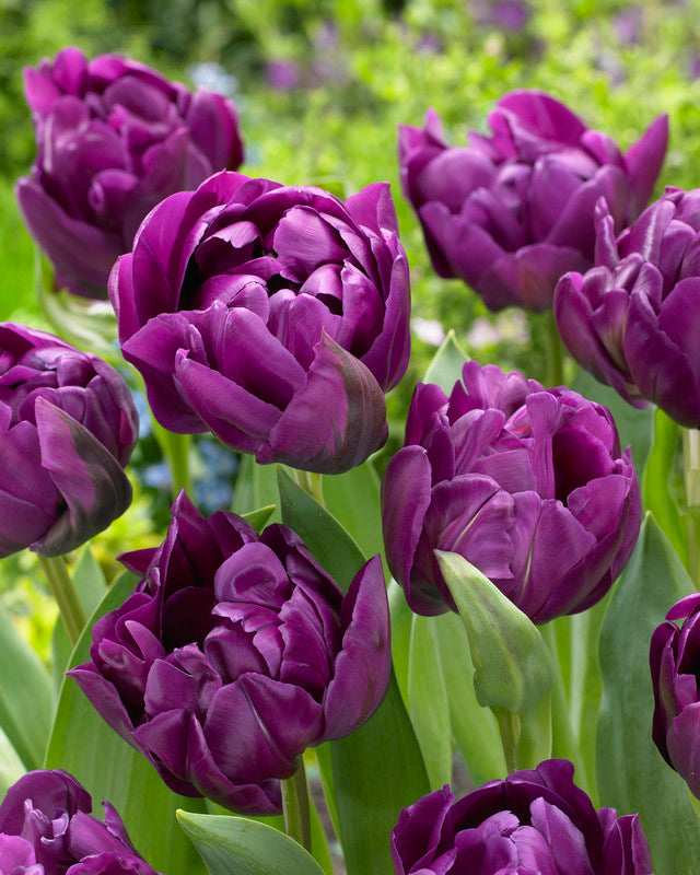 Tulip Bulbs - Double Negrita - 5 bulbs -Impressive full double dark purple flowers