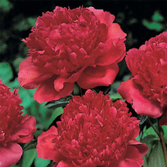 Kansas Peony Roots (FALL-Planted) Rabbit & Deer Resistant | Red double flower Mid-Season