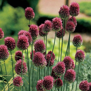 "Allium Bulb- Drumstick- 25 bulbs | Deer Resistant |  2-3"" diameter flower 