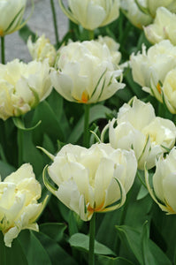 Tulip Bulbs | Exotic Emperor- 5 bulbs - White flowers with yellow and green outside petals, exotic looking.
