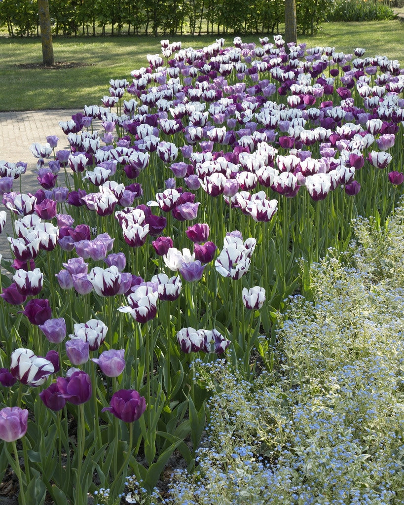 Tulip Bulbs -Blends- Eye Catcher -10 bulbs - Purple & White- incredible spectacle of brilliant grouped blooms.