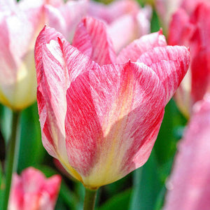 Tulip Bulbs | Flaming Perissima- 5 bulbs - large tulip flowers are ivory with shades of blush pink, red and yellow