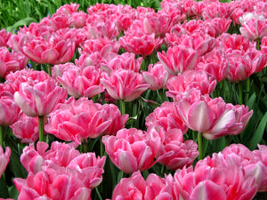Tulip Bulbs -Foxtrot - 5 bulbs - double - Soft pink flowers with darker pink undertone.