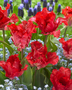 Tulip Bulbs -Garden Fire Parrot - 5 bulbs -Pure red flowers, green marks on outer petals.