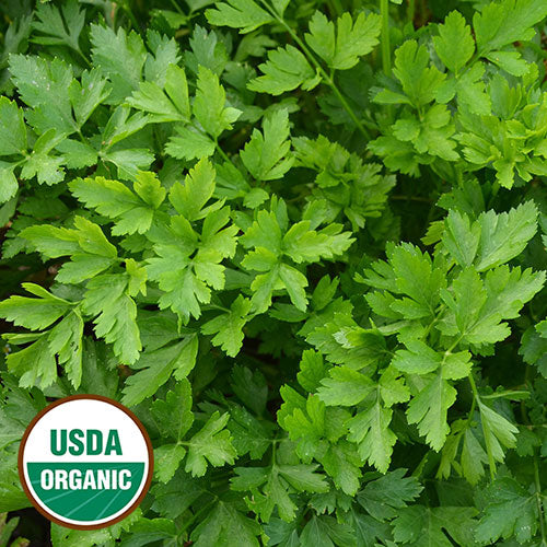 green flat leaf organic Italian parsley