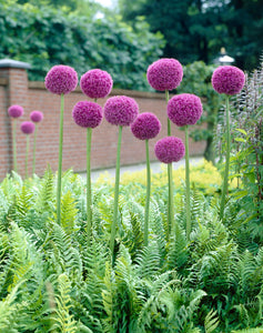 A FLOWER BED WITH ALLIUM GIGANTEUM FLOWERS AND GREEN FOLIAGE; HAS BRICK WALL BEHIND. SHOWS FLOWERS IN FULL BLOOM WITH STAR-LIKE, TINY LILAC/PURPLE FLOWERS.
