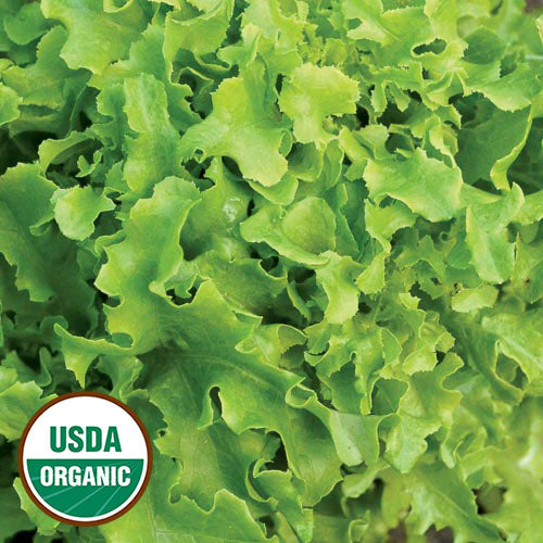 'GOLD RUSH' LETTUCE/ORGANIC/FRILLY, CURLED, CRINCKELED, LIME-GREEN LEAVES/MILD, FRESH FLAVOR/LOOSE LEAF