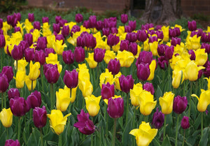 Tulip Bulbs -Blends- Golden Royal - 10 bulbs - A dignified combination of golden yellow and purple mid-season blooming Triumph tulips.