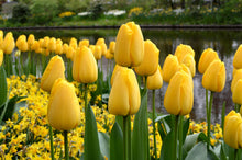 Load image into Gallery viewer, Tulip Bulbs - Golden Parade - 5 bulbs -Large Soft Yellow to Bright Yellow inside