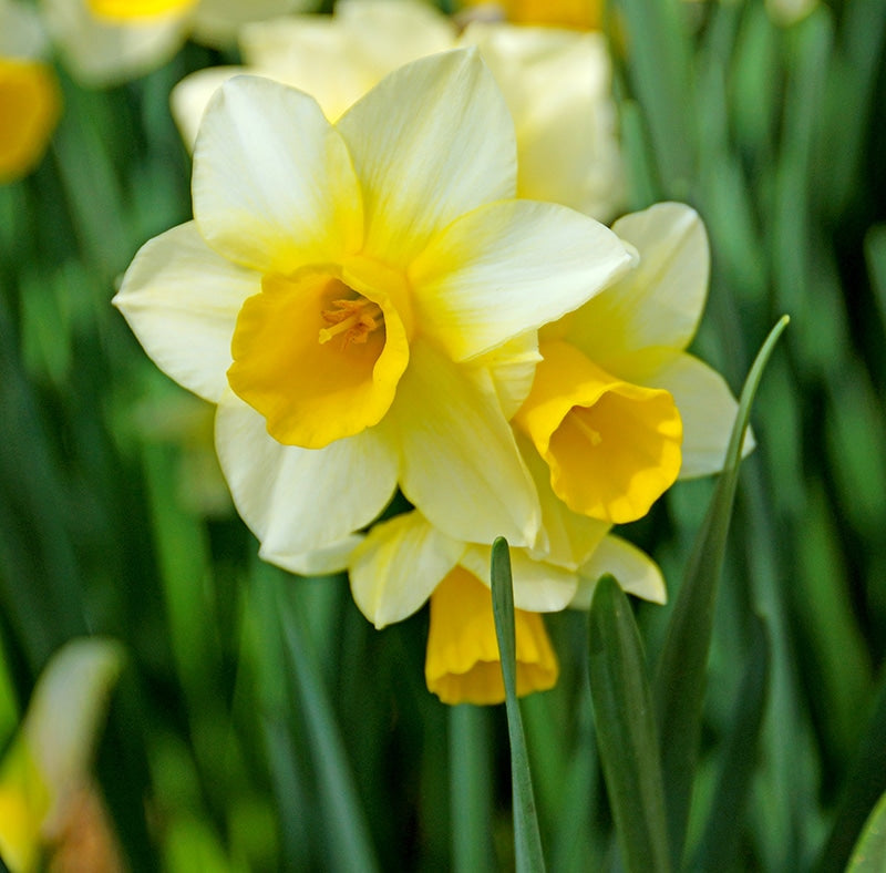 Daffodil Bulbs - Golden Echo- 5 bulbs -Miniature - Pure white petals with contrasting golden yellow cup, long lasting fragrant flowers.