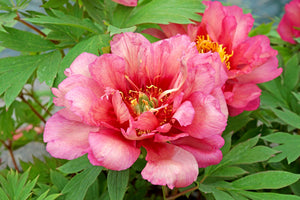 PEONY ROOTS (FALL-PLANTED) - ITOH 'Hillary'  Pre-Sale Now; Ships Fall 2020 Deer Resistant | Dark peach double flowers | Finishes in a velvety vanilla color