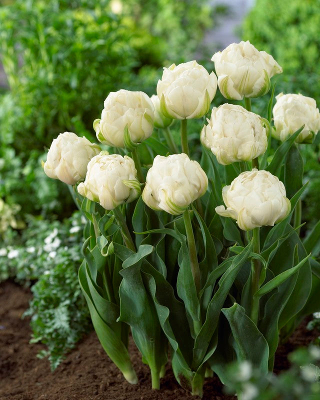 Double Tulip Bulbs - Mount Tacoma- 5 bulbs -Peony shaped white flowers Late Blooming