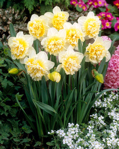 Daffodil Bulbs - Ice King- 5 bulbs -Creamy white petals around a double yellow center.  Deer resistant