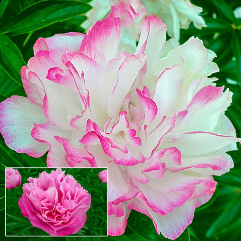 Peony Roots (FALL-Planted) - 'Joker' Pre-Sale Now; Ships Fall 2020  Deer Resistant | Changing Colors