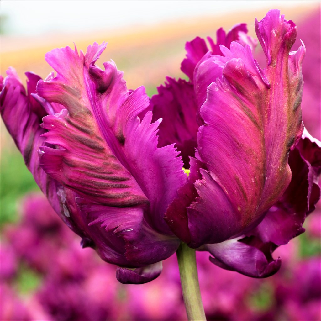 Tulip Bulbs - Negrita Parrot- 5 bulbs -dark purple flowers with green marks.