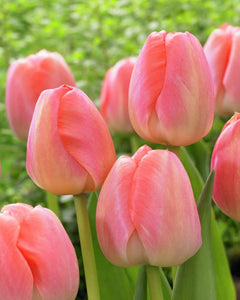 Tulip Bulbs -Orange Pride - 5 bulbs -Orange flowers, a sport of tulip Ollioules, strong grower and elegant shaped flowers