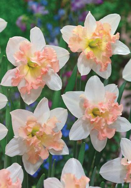 Daffodil Bulbs - Palmares - 5 bulbs -Spilt cup - Apricot pink beautifully ruffled and surrounded by pure white petals