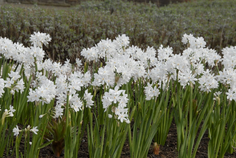 Paperwhites | Daffodil Bulbs - Indoor- 5 bulbs - Fragrant | Forced Flower
