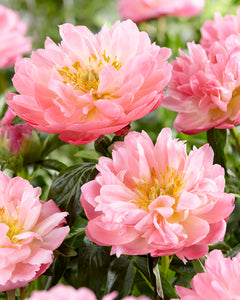 Peony Roots (FALL-Planted) - 'Pink Hawaiian Coral' Pre-Sale Now; Ships Fall 2020 | Deer Resistant | semi-double rose shaped coral pink