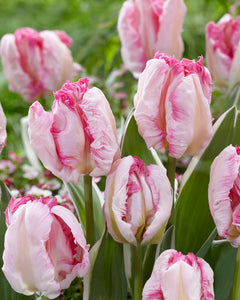 Tulip Bulbs - Pinkvision- 5 bulbs -Elegant glowing pink flowers with green veins. | Parrot Tulip