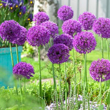 "Load image into Gallery viewer, Allium Bulb- Purple Sensation- 5 bulbs | Deer Resistant |  4"" diameter flower 
