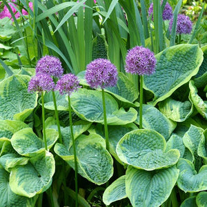 "Allium Bulb- Purple Sensation- 5 bulbs | Deer Resistant |  4"" diameter flower 