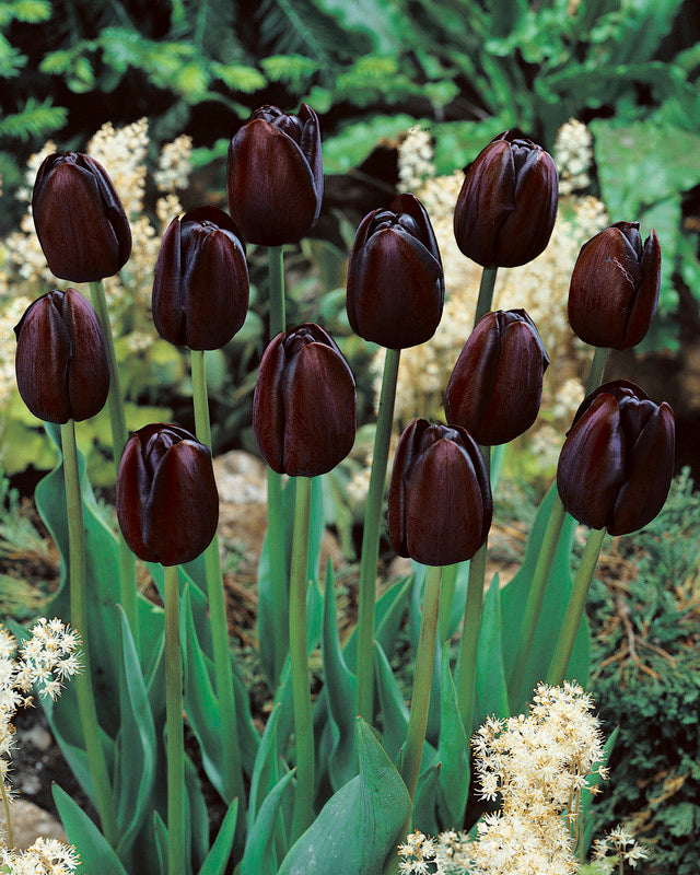 Tulip Bulbs -Queen of the Night- 5 bulbs - With its almost black color and silk-like petals, it stands out in every garden bed.