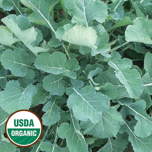 'SMOOTH GERMAN' ORGANIC KALE HAS SMOOTH, MEDIUM GREEN LEAVES. 3' TO 4' WIDE | RAW LEAVES ARE SLIGHTLY BITTER WITH TANGY-MUSTARD TASTE/COOKED LEAVESARE SEET, JUICY, AND TENDER | ANNUAL | EARLY BOLT.