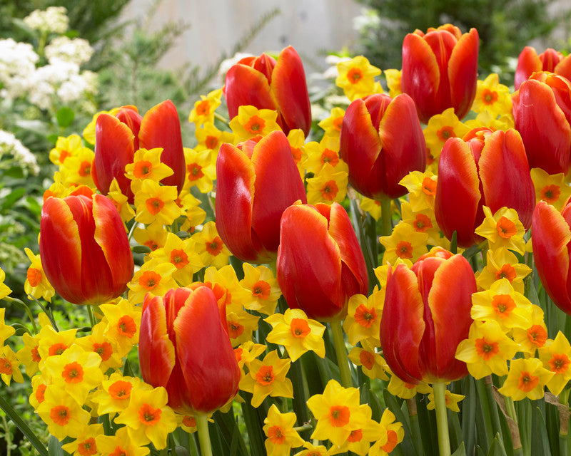 Daffodil & Tulip Bulbs Blend- Spring Scents- 10 bulbs - daffodil and a tulip, match in color and flowering time