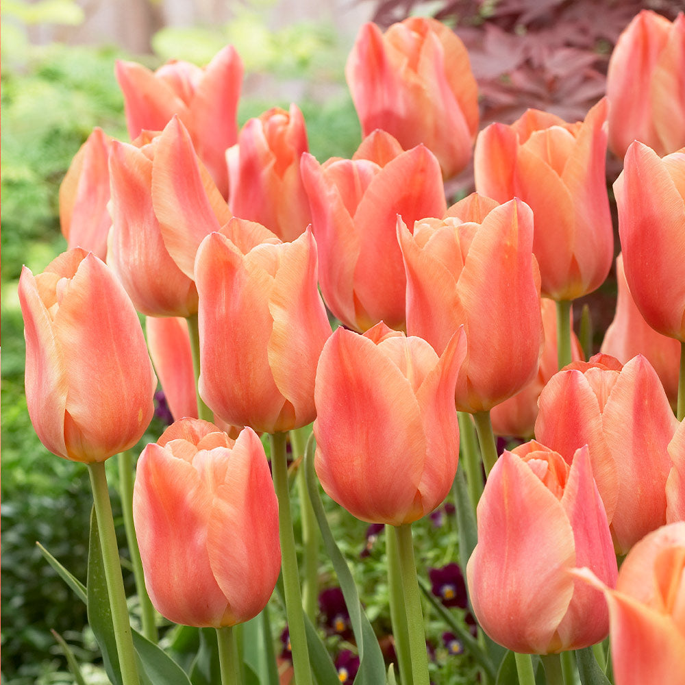 Tulip Bulbs  | Stunning Apricot | Late Bloomer | 5 bulbs - Coral flowers with paler edges, raspberry blushed.