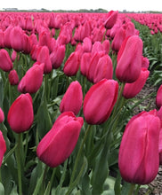 Load image into Gallery viewer, Tulip Bulbs -Yosemite - 5 bulbs -Long lasting dark pink egg-shaped flowers on sturdy stems.