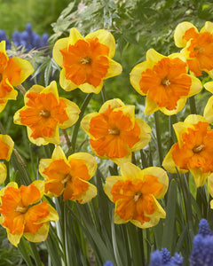 "Daffodil Bulbs - Congress- 5 bulbs -Large (4"" wide) golden yellow majestic flowers with deep orange splitting cup."
