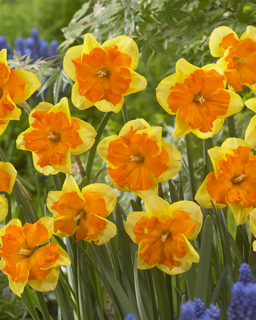 Daffodil Bulbs - Congress- 5 bulbs -Large (4
