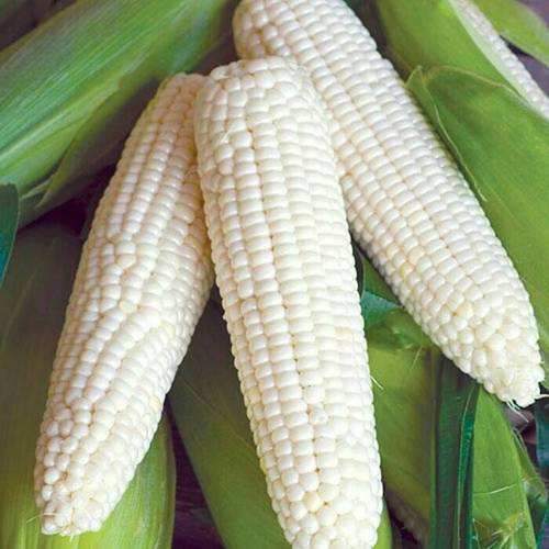 Cameron White Sweet Corn