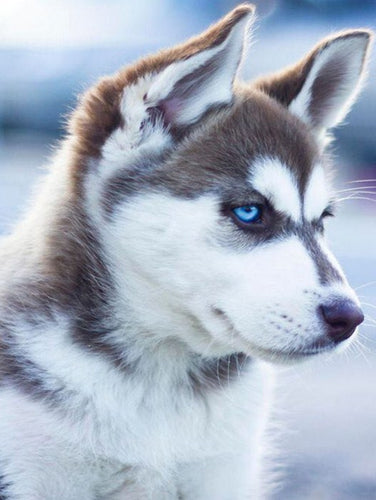 Adorable Husky with Blue Eyes Diamond Painting