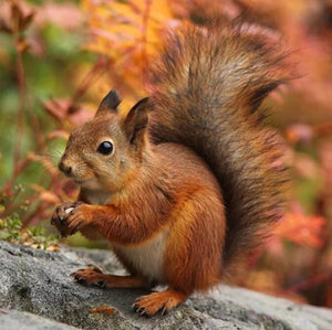Adorable Squirrel Paint by Diamonds