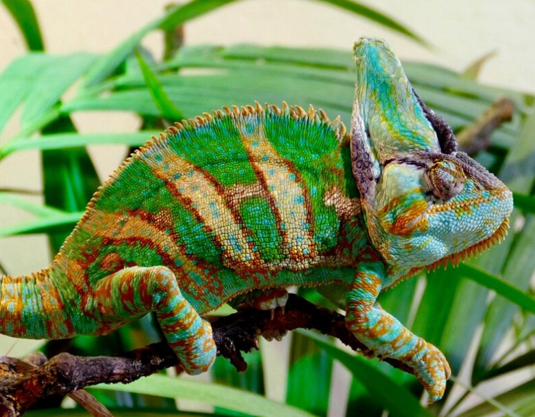 Beautiful Chameleon Diamond Painting Kit