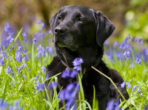 Black Labrador in Green Fields Diamond Painting