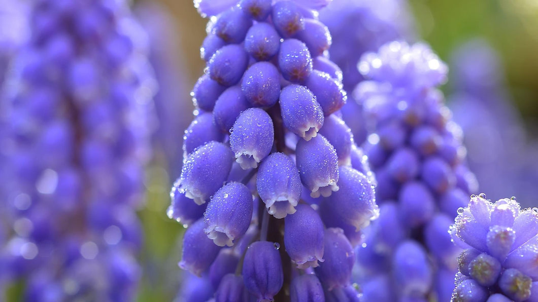 Blue Muscari Flowers Paint by Diamonds
